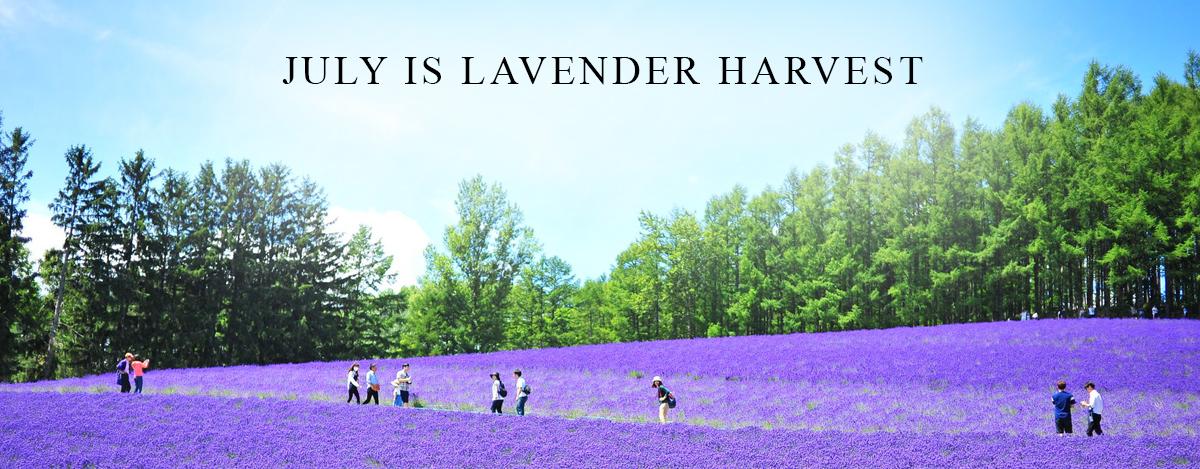 lavender-2017.jpg